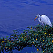 Common Egret Art Print
