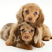 Dachshund Pups Print by Jane Burton