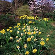 Daffodils (narcissus Sp.) Art Print