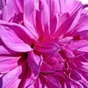 Dahlia Named Lilac Time Art Print