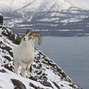 Dall Sheep Ovis Dalli Ram, Yukon Art Print