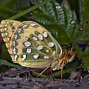Dark Green Fritillary Butterfly Art Print