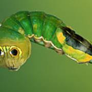 Dead-leaf Moth Oxytenis Modestia Art Print