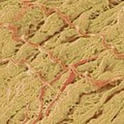 Dense Connective Tissue, Sem Art Print