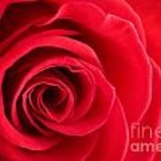 Detail Of Red Rose Art Print