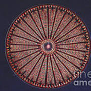 Diatom Art Print