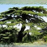 Do-00512 Cedar Forest Art Print