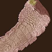 Dog Tapeworm, Sem Art Print