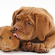 Dogue De Bordeaux Puppy With Red Guinea Art Print