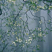 Dogwood Blossoms In A Foggy Forest Art Print