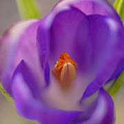 Dutch Crocus Crocus Vernus Flower Art Print