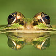 Edible Frog Rana Esculenta Art Print