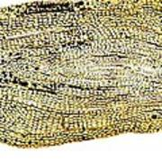 Eel Scale, Light Micrograph Art Print