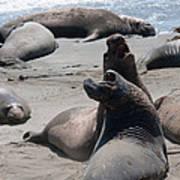 Elephant Seal Colony On Big Sur  Art Print