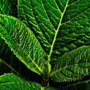 Emerging Hydrangea Leaf Art Print