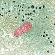 Endoplasmic Reticulum Art Print