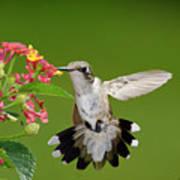Female Hummingbird Art Print by DansPhotoArt on flickr
