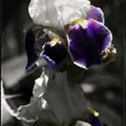 Filoli Iris Art Print