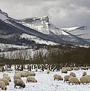 Flock Of Sheep In The Snow Art Print