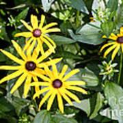 Flower Rudbeckia Fulgida In Full Print by Ted Kinsman