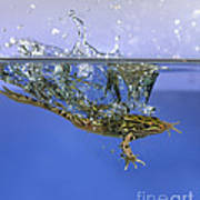 Frog Jumps Into Water Art Print