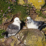 Fulmar Pair Bonding Art Print