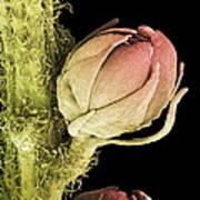 Goat's Beard Flower, Sem Art Print