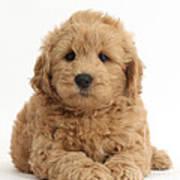 Goldendoodle Puppy Art Print