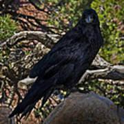 Grand Canyon Raven Art Print