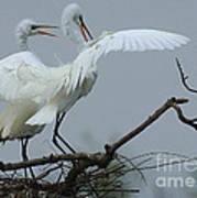 Great Egret Pair Art Print