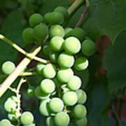Green Grape Bunch Art Print