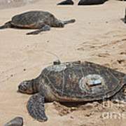 Green Sea Turtles With Gps Art Print