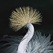 Grey Crowned Crane Balearica Regulorum Art Print