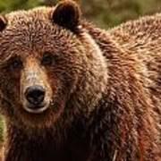 Grizzly Bear, Yukon Art Print