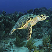 Hawksbill Turtle On Caribbean Reef Art Print