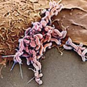 Helicobacter Pylori Bacteria, Sem Art Print
