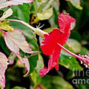 Hibiscus In Bloom Art Print