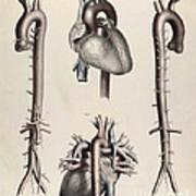Historical Anatomical Illustration Art Print