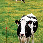 Holstein Dairy Cattle Art Print