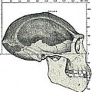 Homo Erectus Skull Art Print