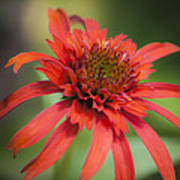 Hot Papaya Coneflower Squared Art Print