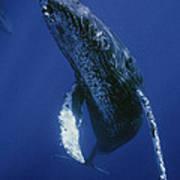 Humpback Whale Singer Maui Hawaii Art Print