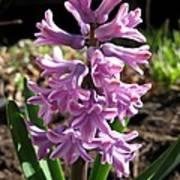 Hyacinth Named Splendid Cornelia Art Print