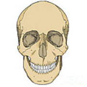 Illustration Of Anterior Skull Art Print
