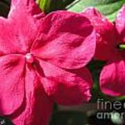 Impatiens Named Dazzler Burgundy Art Print