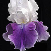 Iris 3 Art Print