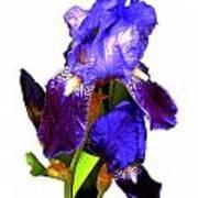 Iris On White Art Print
