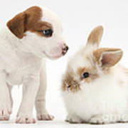 Jack Russell Terrier Puppy And Baby Art Print