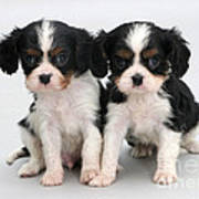 King Charles Spaniel Puppies Print by Jane Burton