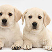 Labrador Retriever Puppies Art Print